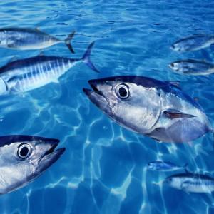 Bluefin tuna Thunnus thynnus fish school underwater swimming blue ocean