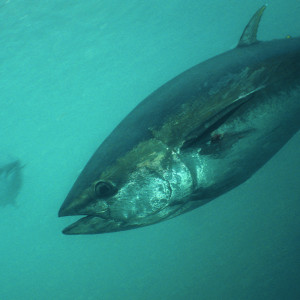 Blue-fin Tuna underwater picture. The picture taken inside tuna farm.