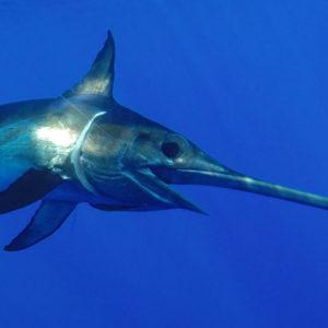 swordfishunderwater